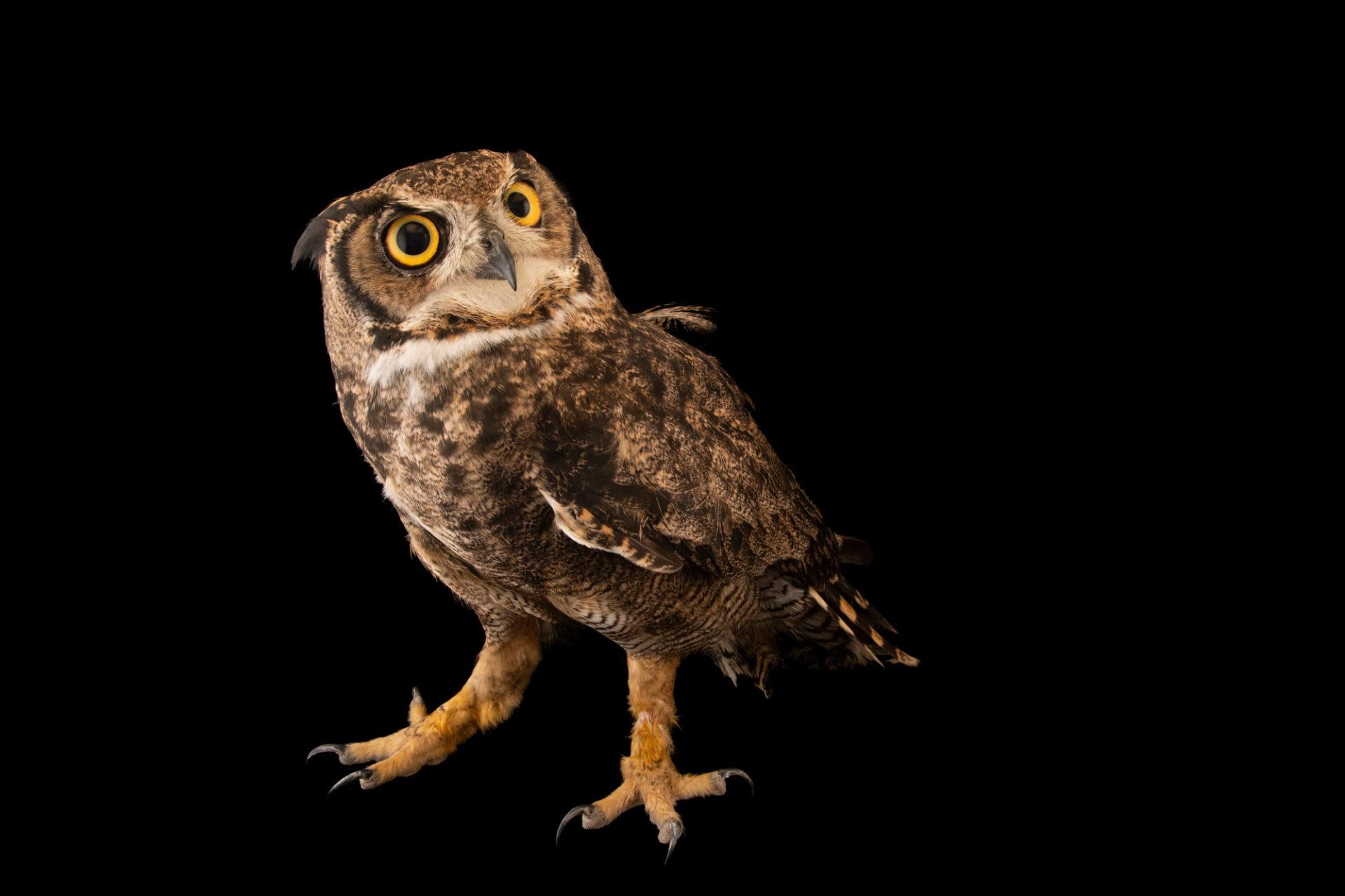 Photo: A Magellanic owl (Bubo magellanicus) at the Santiago Zoo in Chile.