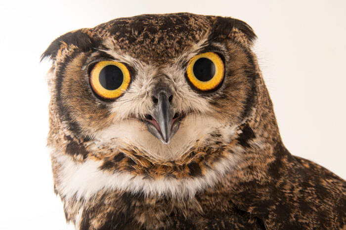 Photo: A Magellanic owl (Bubo magellanicus) at the Santiago Zoo in Chile.