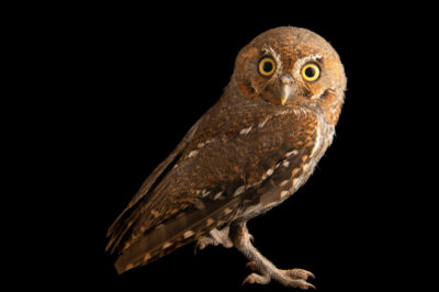 Photo: An elf owl (Micrathene whitneyi) at Wild At Heart in AZ.