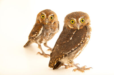 Photo: Two elf owls (Micrathene whitneyi) at Wild At Heart in AZ.