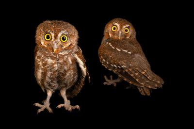 Photo: Two elf owls (Micrathene whitneyi) at Wild At Heart in AZ.
