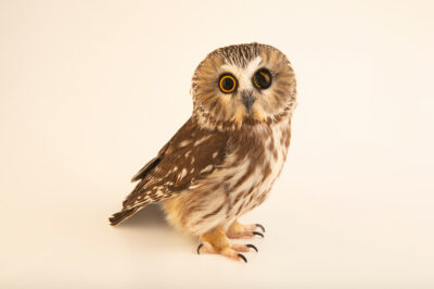 Photo: A northern saw-whet owl (Aegolius acadicus acadicus) named 'Q' at Wild at Heart, a raptor rehab center in Cave Creek, AZ. This bird is blind in one eye, likely the result of being hit by a car.