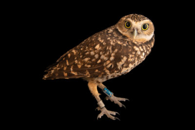 Photo: A western burrowing owl (Athene cunicularia hypugaea) at Wild At Heart in AZ.