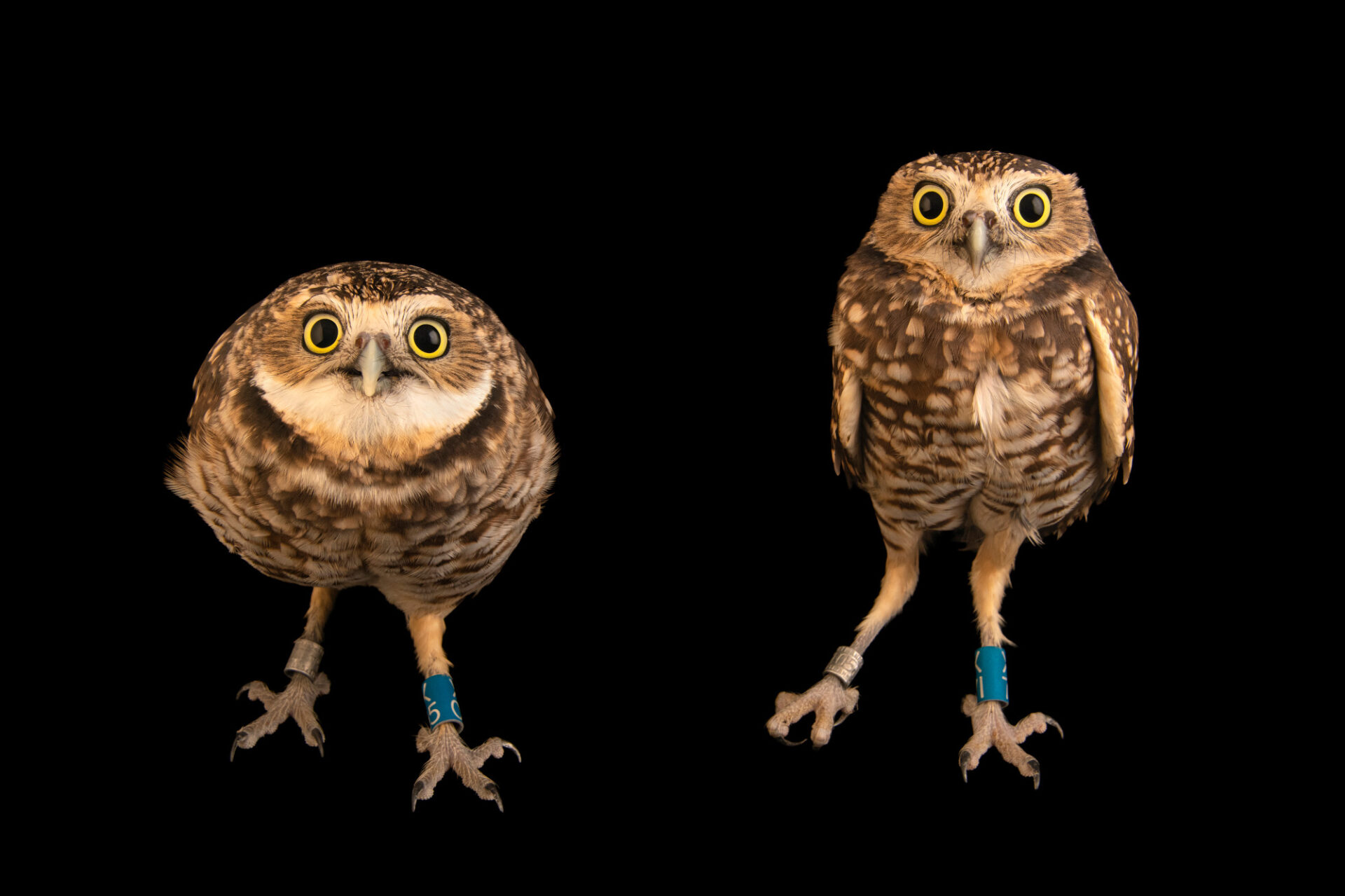 Photo: Two western burrowing owls (Athene cunicularia hypugaea) at Wild At Heart in AZ.