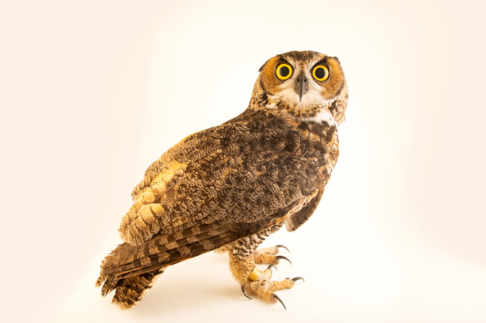 Photo: A desert great horned owl (Bubo virginianus pallescens) named Meadow, at Wild At Heart in AZ.