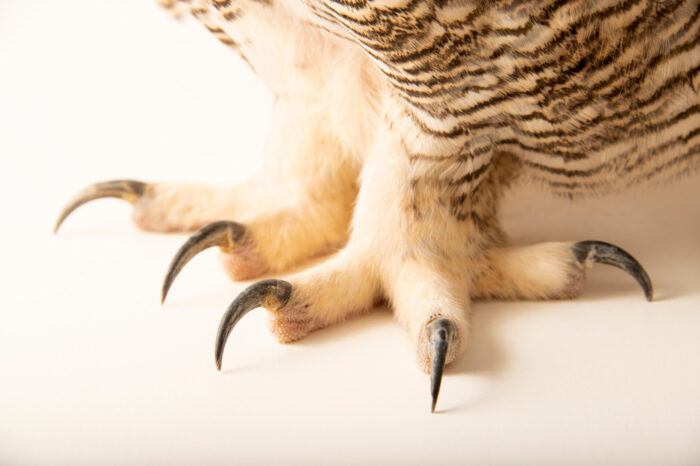 Photo: A common or eastern great horned owl (Bubo virginianus virginianus) named Halsey from a private collection.