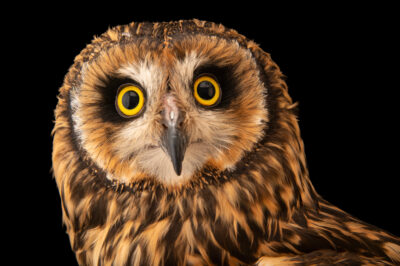 Photo: A short-eared owl (Asio flammeus suinda) at Unidad de Rehabilitación de Fauna Silvestre.