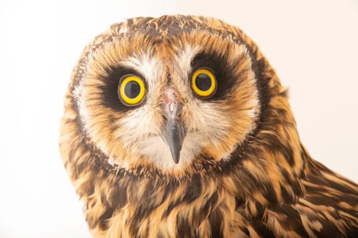 Photo: A short-eared owl (Asio flammeus suinda) at Unidad de Rehabilitación de Fauna Silvestre.
