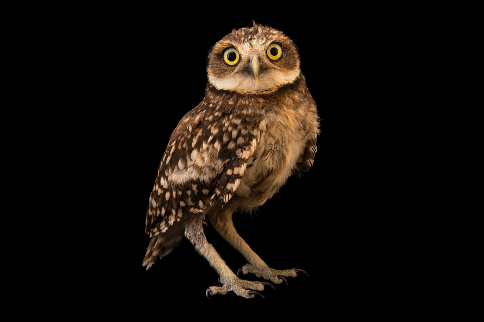 Photo: A burrowing owl (Athene cunicularia cunicularia) at Unidad de Rehabilitación de Fauna Silvestre.