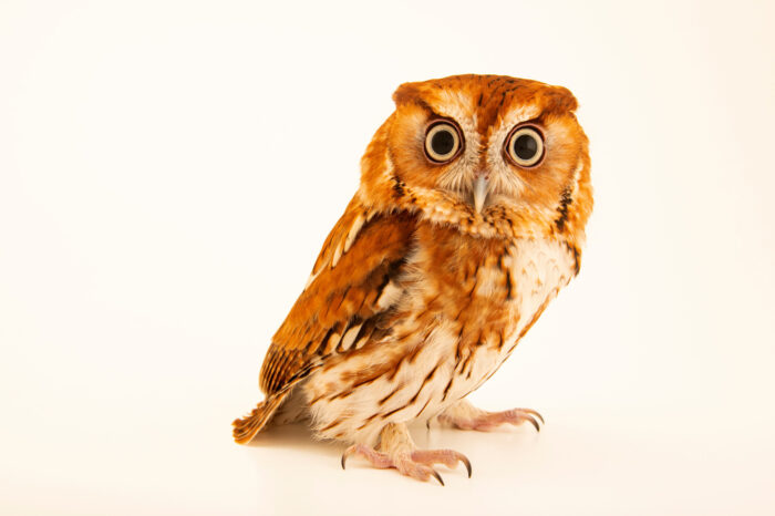 Photo: A red phased Eastern screech owl (Megascops asio) at Houston SPCA's Wildlife Center of Texas.