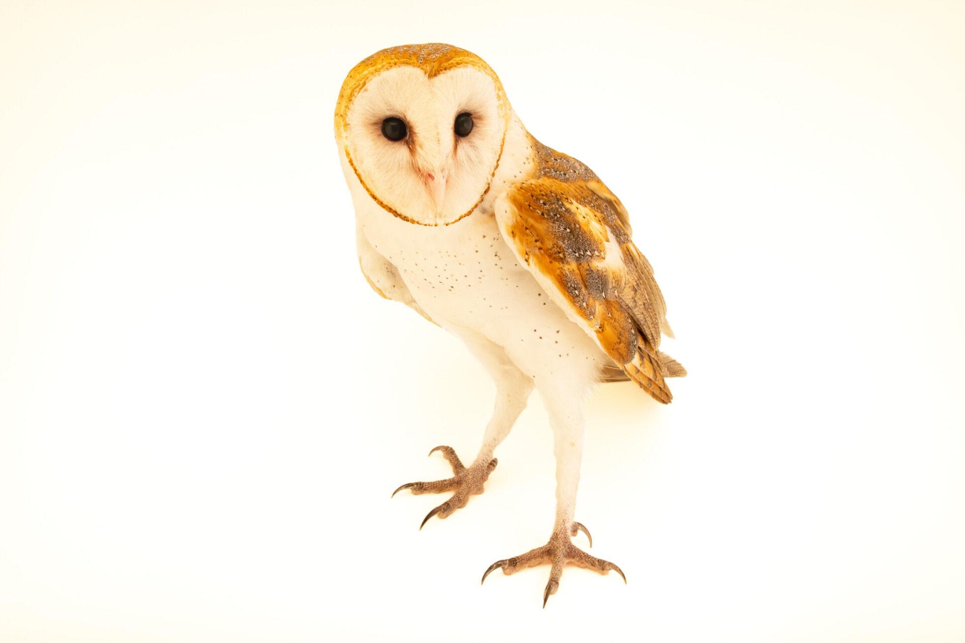 Photo: An American barn owl (Tyto alba pratincola) at Houston SPCA's Wildlife Center of Texas.