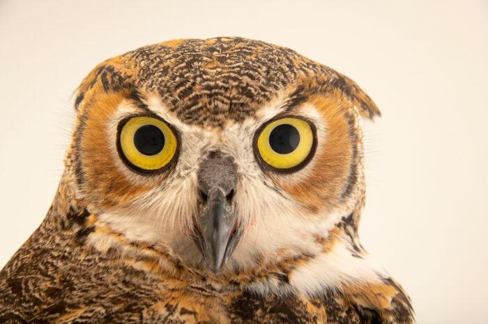 Photo: A great horned owl (Bubo virginanus virginanus) at Houston SPCA's Wildlife Center of Texas.