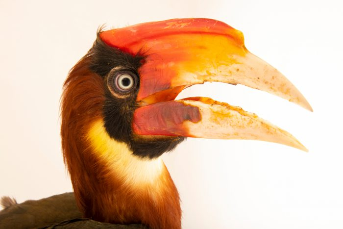 Photo: A southern rufous hornbill, Buceros mindanensis semigaleatus, at Talarak Foundation.