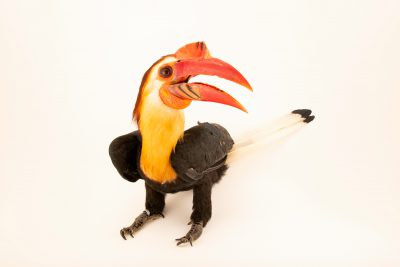 Photo: A male mindanao wrinkled hornbill, Rhabdotorrhinus leucocephalus, at Talarak Foundation.