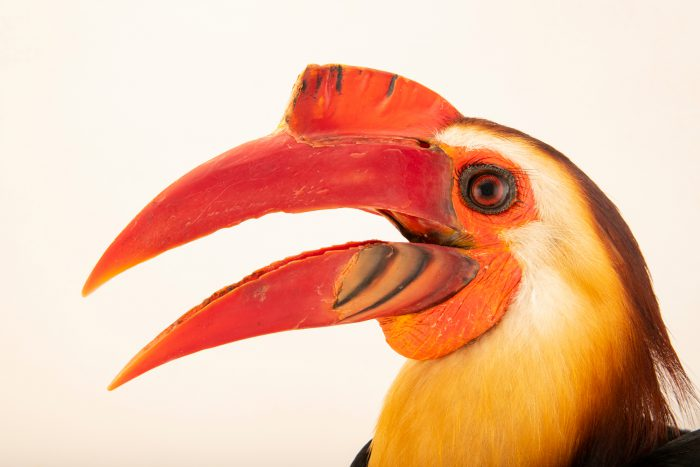 Photo: A male mindanao wrinkled hornbill, Rhabdotorrhinus leucocephalus, at Talarak Foundation.