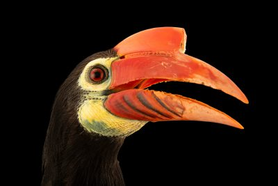 Photo: A critically endangered, female Walden's hornbill, Rhabdotorrhinus waldeni, at Talarak Foundation.