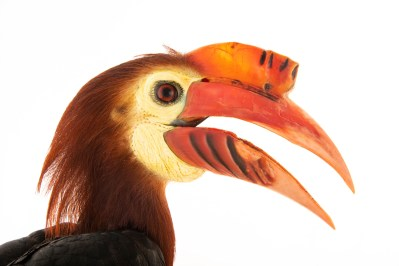 Photo: A critically endangered, male WaldenÕs hornbill, Rhabdotorrhinus waldeni, at Talarak Foundation.