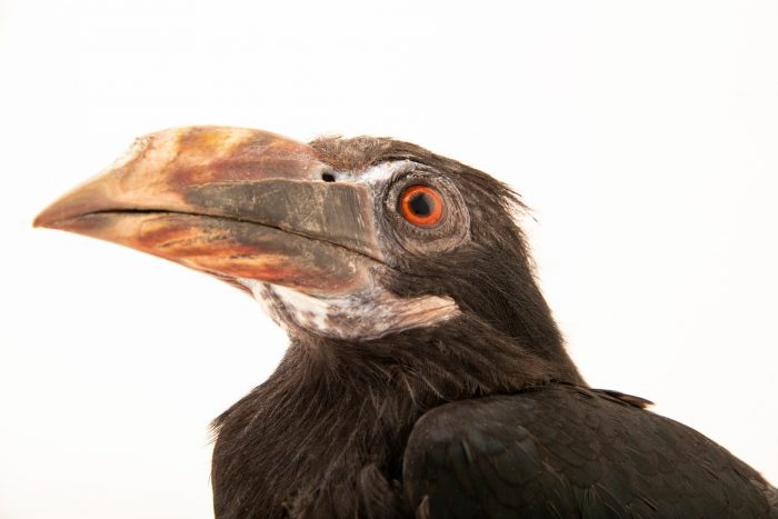 Photo: A female Mindanao tarictic hornbill (Penelopides affinis affinis) at the Avilon Zoo.