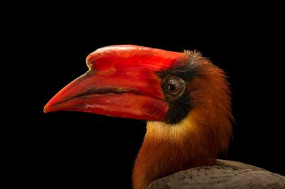 Photo: A male Luzon rufous hornbill, Buceros hydrocorax, at the Avilon Zoo. This species is listed as vulnerable on the IUCN red list.