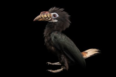 Photo: An endangered Visayan tarictic hornbill (Penelopides panini panini) at Negros Forest Park.