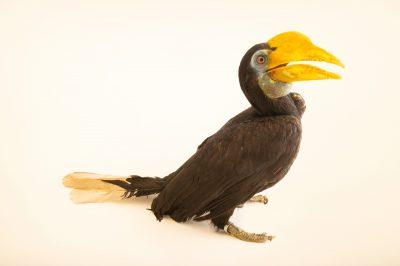 Photo: An endangered, female Sunda wrinkled hornbill (Aceros corrugatus rugosus) at Taman Mini Indonesia Indah.