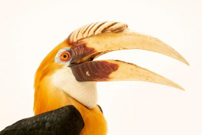 Photo: A male Papuan hornbill (Rhyticeros plicatus ruficollis) at Taman Safari.