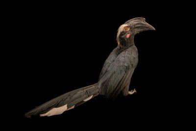 Photo: A black hornbill (Anthracoceros malayanus) at Taman Safari.