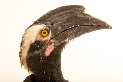 Photo: A black hornbill (Anthracoceros malayanus) at Taman Safari.
