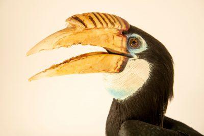 Photo: A female Papuan hornbill (Rhyticeros plicatus ruficollis) at Taman Safari.