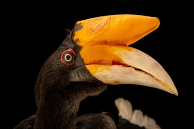 Photo: A female Javan rhinoceros hornbill (Buceros rhinoceros silvestris) at Taman Safari.