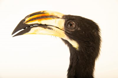 Photo: An African pied hornbill (Tockus fasciatus) at Parque Biologico.