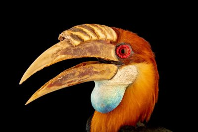 Photo: A male Sumba hornbill (Rhyticeros everetti) at Bali Bird Park in Bali, Indonesia.