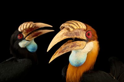 Photo: Sumba hornbill (Rhyticeros everetti) at Bali Bird Park in Bali, Indonesia.