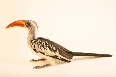 Photo: A western red-billed hornbill (Tockus erythrorhynchus kempi) at Sylvan Heights Bird Park in Scotland Neck, North Carolina.