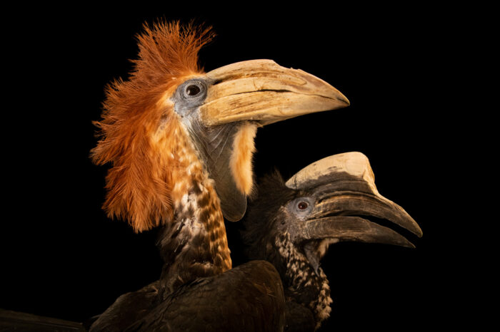 Photo: A pair of yellow casqued hornbills (Ceratogymna elata) at the Memphis Zoo. This species is listed as vulnerable on the IUCN Red List.