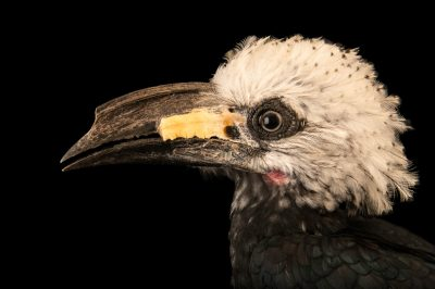 Photo: A western long-tailed hornbill (Horizocerus albocristatus) at the North Florida Wildlife Center in Lamont, Florida.