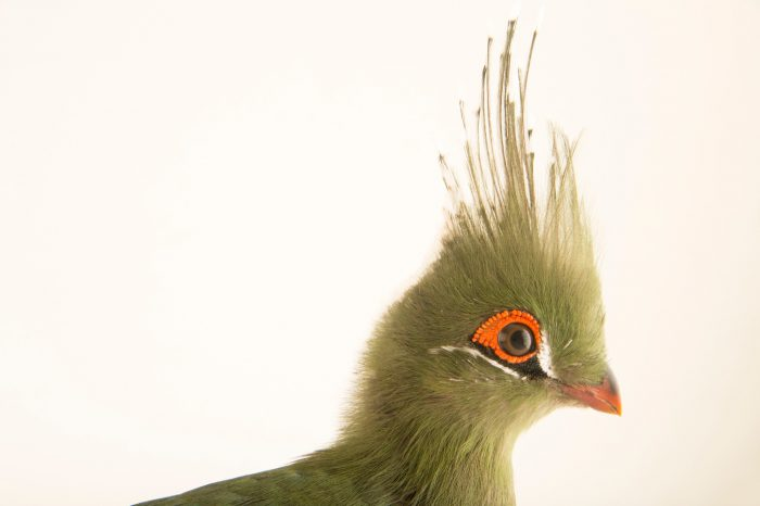 Photo: A Schalow's turaco (Tauraco schalowi) from a private collection in Choussy, France.