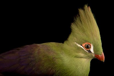 Photo: A green turaco (Tauraco persa persa) from a private collection in Choussy, France.