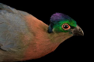Photo: A violet-crested or purple-crested turaco (Tauraco porphyreolophus porphyreolophus) from a private collection in Choussy, France.