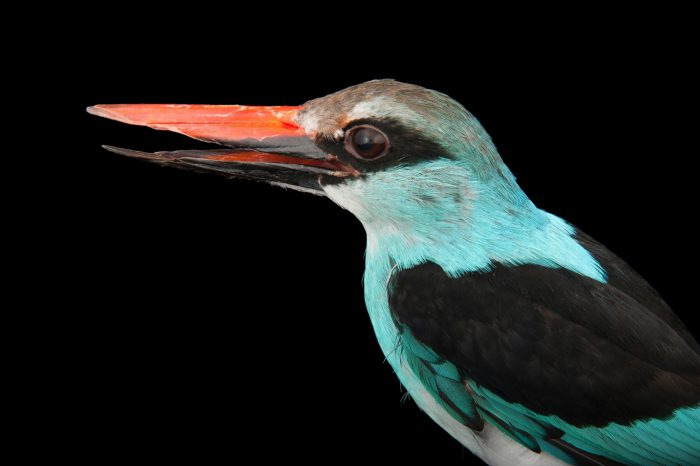 Photo: A blue-breasted kingfisher (Halcyon malimbica) at the Houston Zoo.