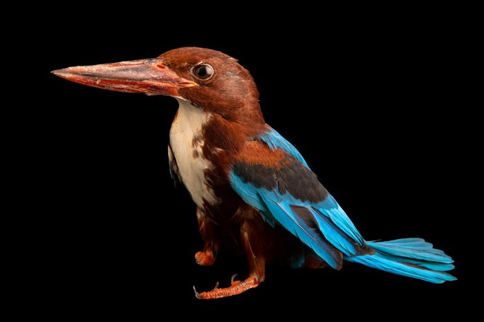 Photo: A white-throated kingfisher (Halcyon smyrnensis perpulchra) at Taman Mini Indonesia Indah.