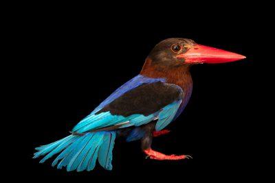 Photo: A Javan kingfisher (Halcyon cyanoventris) at Bali Bird Park in Bali, Indonesia.