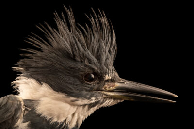 Photo: A male belted kingfisher (Megaceryle alcyon) at the Wildlife Rehab Center of Minnesota (WRCMN).