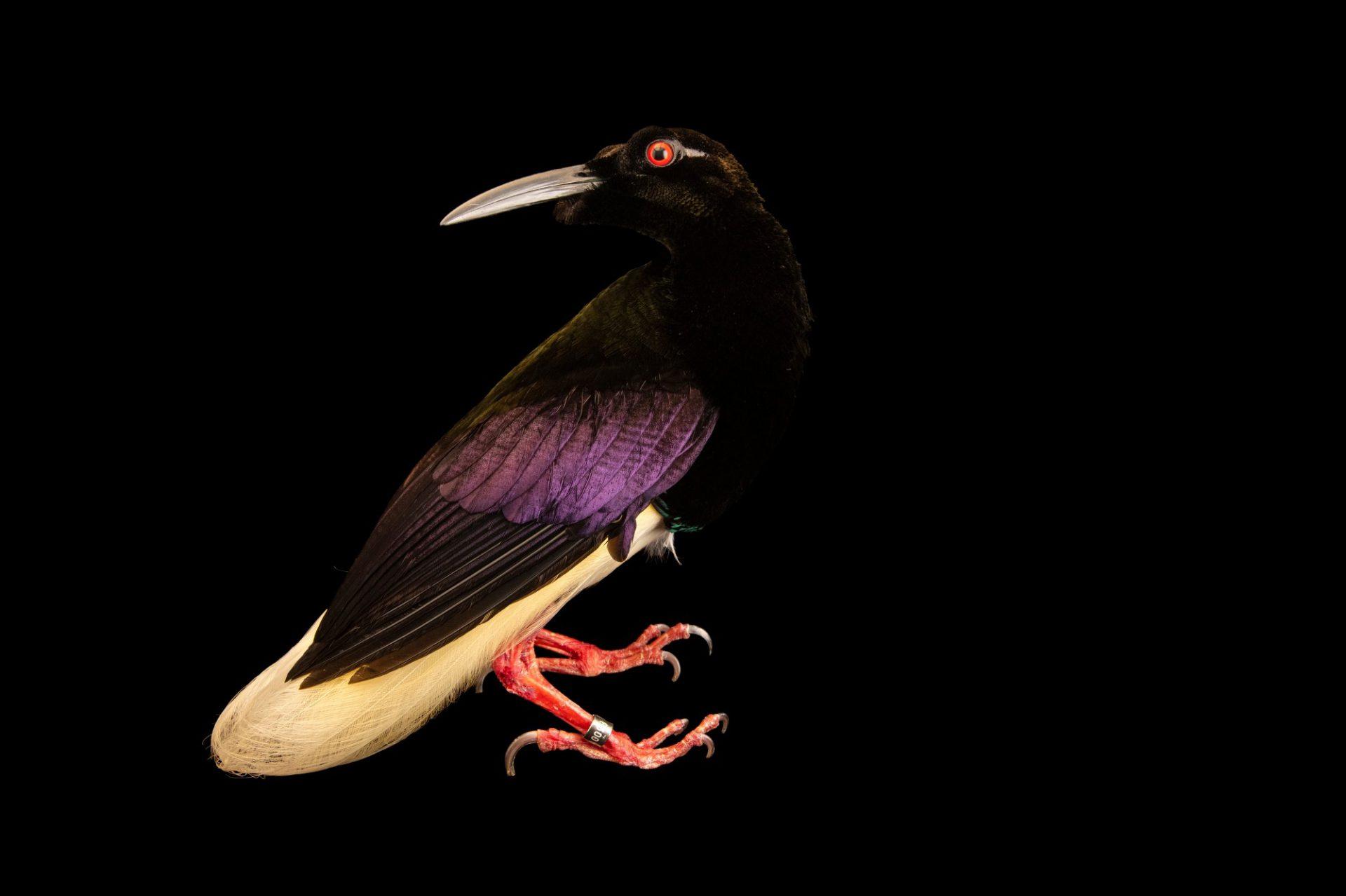 Photo: A twelve-wired bird-of-paradise (Seleucidis melanoleuca) at Taman Mini Indonesia Indah.