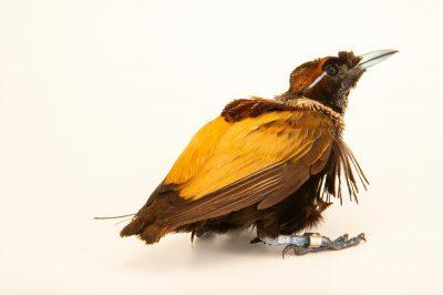 Photo: A male magnificent bird-of-paradise (Cicinnurus magnificus) at Taman Mini Indonesia Indah.
