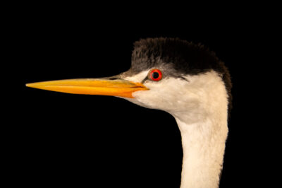 Photo: A Clark's grebe (Aechmophorus clarkii) at the International Bird Rescue Center in San Pedro, CA.