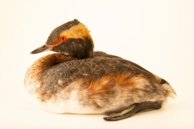 Photo: A horned grebe (Podiceps auritus cornutus) at the International Bird Rescue Center in San Pedro, CA. This species is listed as vulnerable by IUCN.