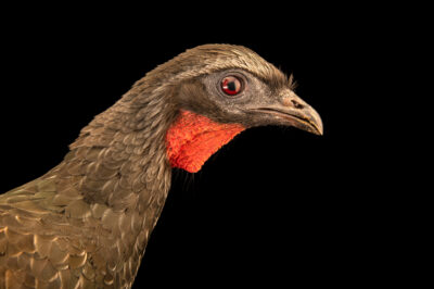 Photo: A dusky-legged guan (Penelope obscura bronzina) at BioParque do Rio.