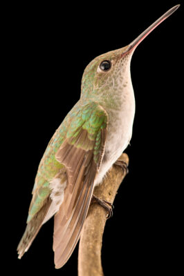 Photo: A white-bellied hummingbird (Amazilia chionogaster) at the Museo d'Orbigny Natural History Museum in Cochabamba, Bolivia.