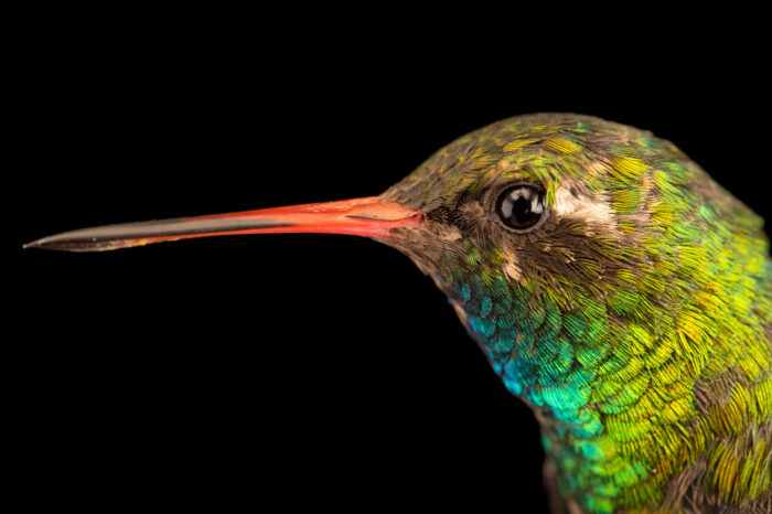 Photo: A glittering-bellied emerald hummingbird (Chlorostilbon lucidus) at the Museo d'Orbigny Natural History Museum in Cochabamba, Bolivia.